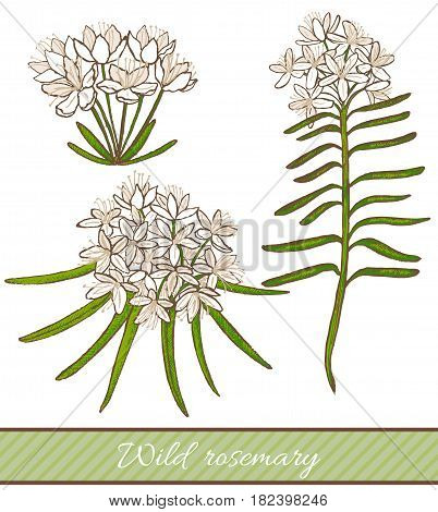 vector hand drawn colored isolated illustration of wild rosemary