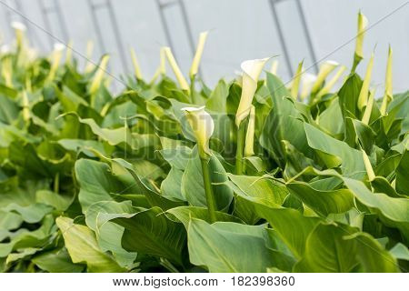 Many White Calla Flowers Blossom In The Greenhouse