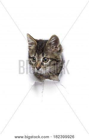 Kitty in hole of paper, little grey tabby cat attentively looks through torn white background, funny pet