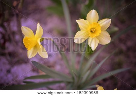 Yellow Daffodil,narcissus Flower In Spring