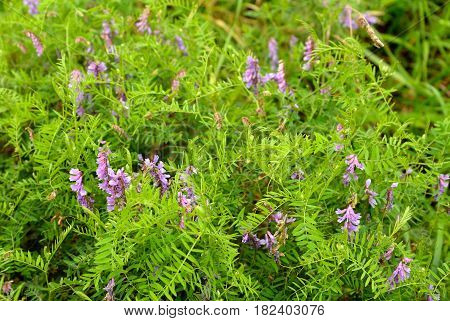 Peas mouse Latin Vicia cracca. A perennial herbaceous plant species of the genus pea of the legume family.