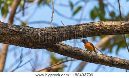 Bird (small Minivet) On A Tree