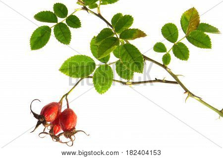 Red dogrose isolated on a white background