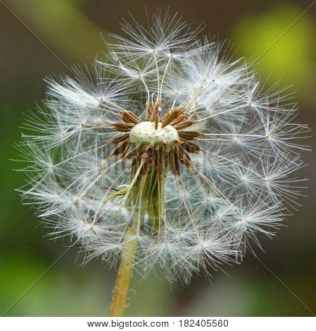 Macro photography of dandelion with green background