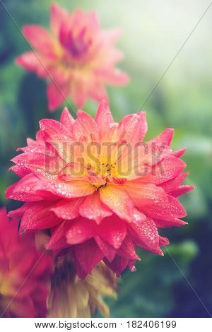 background Flower Dahlia flower orange green background.