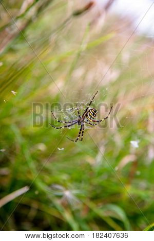 Argiope spider sits on the web in the grass