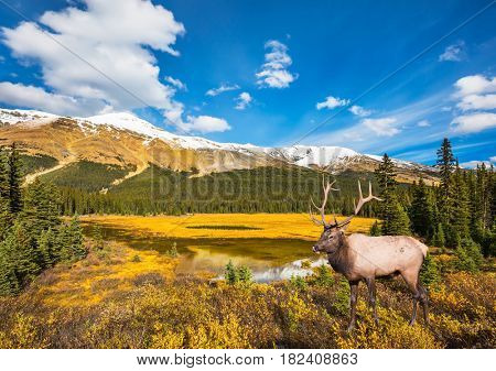 The beautiful nature in the northern Rocky Mountains. Magnificent red deer with branched antlers grazes in the grass near the water