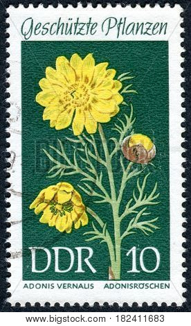 GERMANY - CIRCA 1969: A stamp printed in Germany (GDR) shows the flower Adonis vernalis circa 1969