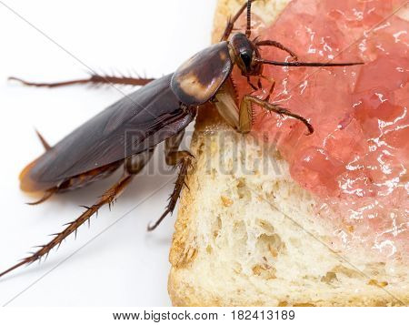 Closeup cockroach on the whole wheat bread with jam. Cockroaches are carriers of the disease.