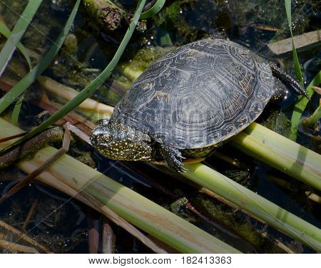Turtle on the stems of reeds in the marshy river bayou