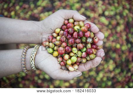 Thailand Lampang Coffee Plantations