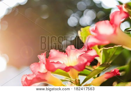 Red Flowers of Desert rose, Mock Azalea, Pink bignonia, Impala lily or Adenium, beautiful of flowers background concept.