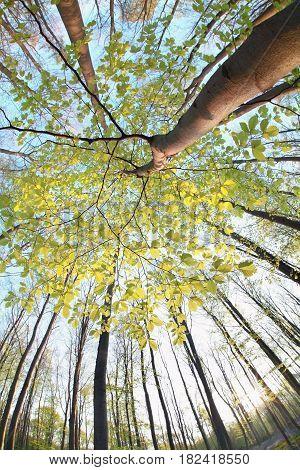 beech tree in sunny spring forest vua fish-eye lens