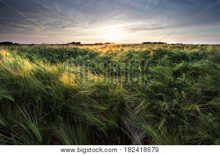 evening sunshine over wheat field in summer