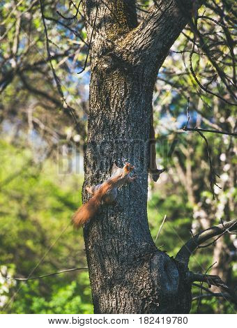 Squirrels climbing tree in Gellert hill park in Budapest, Hungary, on sunny clear spring day