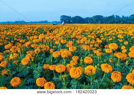 Flowerbed. Marigold cultivation in a village in India.