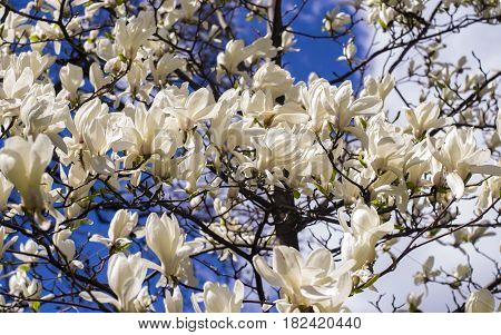 White magnolia. Creamy blossom of white magnolia tree. Beautiful creamy magnolia flower. Magnolia flower in Botanic garden.