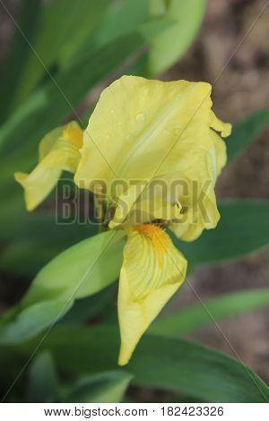 Yellow iris flower in the garden, Fresh yellow flower in summer garden. Details of iris flower.