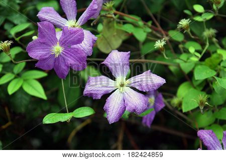 beautiful purple flowers Clematis Lasurstern closeup foreground