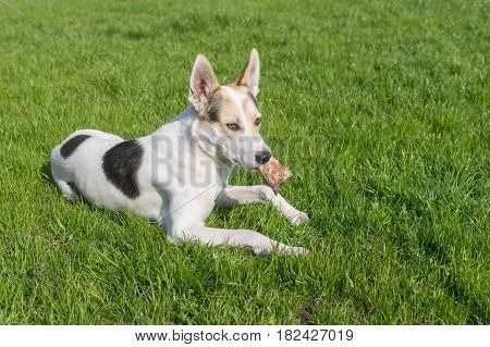 Cross-breed of hunting and northern dog taking its favorite bone while lying on a green lawn