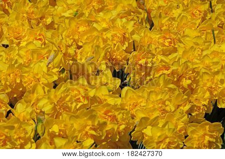 Yellow daffodils bloom in greater numbers. Season of flowering daffodils. Narcissus bloom in the spring.