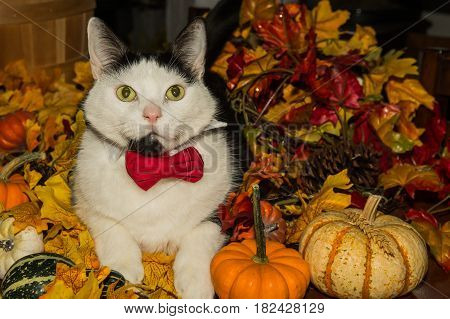 Adorable cat wearing a bow tie and playing with pumpkins