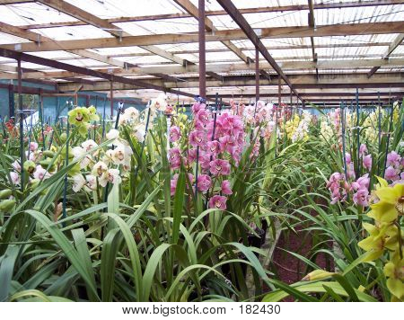 Cymbidium Orchid Nursery