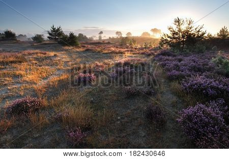 sunrise over heathland and pine trees in summer