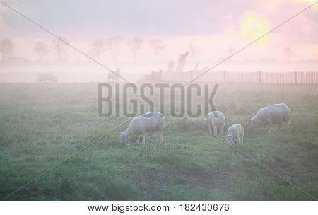 sheep grazing on pasture at misty sunrise