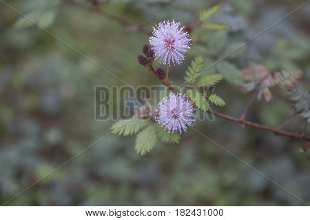 Pink flowers of Mimosa pudica also called sensitive plant with water drops