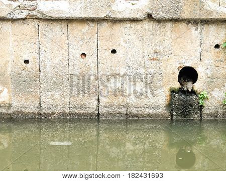 Concrete drainage pipe with water monitor (varanus salvator)