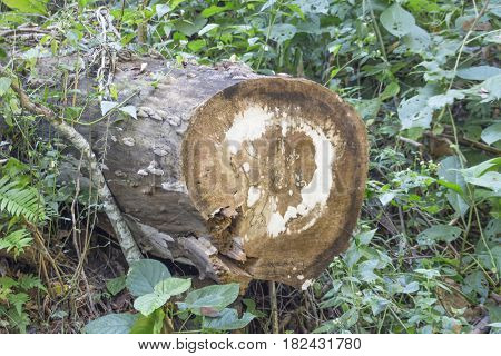 Old wooden log in a forest on green grass background.