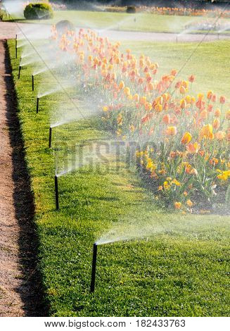 Smart garden Automatic sprinkler irrigation system working early in the morning in green park - watering lawn and colourful flowers tulips narcissus and other types of spring flowers