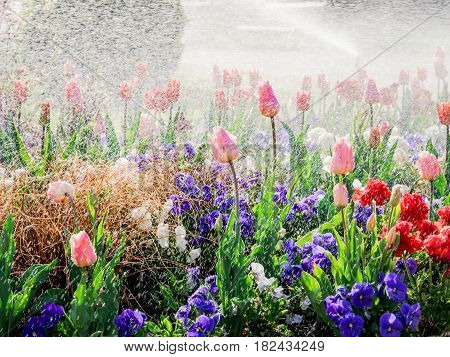 Fresh Spring park scene with rain over beautiful tulips in luxury garden - watering flowers artificial or natural rain - sun flare