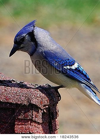 Blue jay perched on ornament