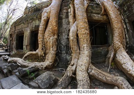 Jungle tree covering the stones of the temple of Ta Prohm in Angkor Wat Siem Reap Cambodia