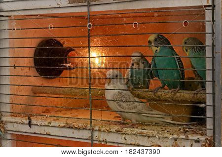 African Lovebirds parrots is sitting in the cage on pet market
