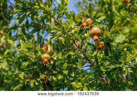 Punica granatum, pomegranate tree with green unripened fruit in the sun shine at beautiful sunny summer day