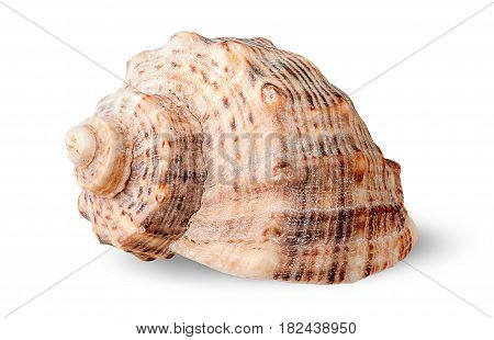 Seashell rapana side view rotated isolated on white background