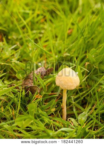 A Single Growing Mushroom In The Grass
