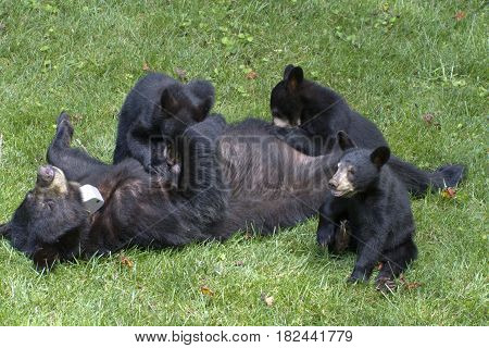A mother black bear lays on her back and nurses two young cubs while a third wanders off on a neighborhood lawn in mid summer