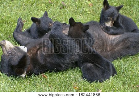 A mother black bear lays on her back and nurses her three young cubs and one tumbles off on a neighborhood lawn in mid summer