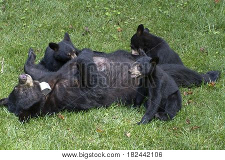 A mother black bear lays on her back and allows her three young cubs to nurse on a neighborhood lawn on a summer day