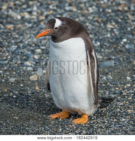 Gentoo Penguins Colony At Beagle Channel In Patagonia