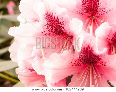 A Beautiful Close Up Of Pink Azalea In The Spring
