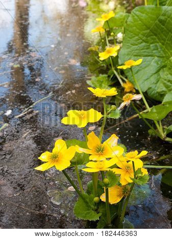 Beautiful Yellow Giant Water Buttercupts In A Pond With Ripples And Green Leaves