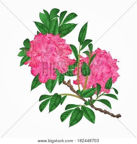 Flowers pink rhododendrons twig Mountain shrub vintage vector illustration