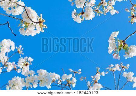 Cherry Blossom, Prunus Serrulata, Full Bloom