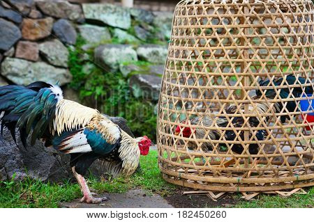 Fierce cock try to fight with rival in bamboo coop. Breeding, training gamecocks and cockfighting at village festivals are traditional hobby of Balinese people. Bali island indigenous culture.