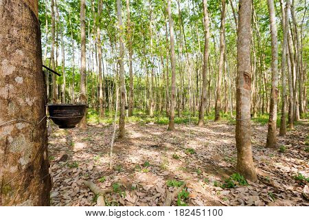 Rubber Trees On Koh Chang